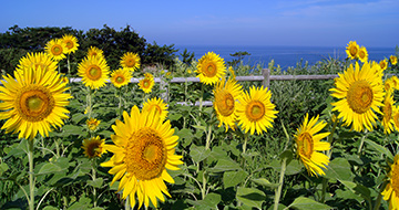 Sunflower Field in Ogawaの画像