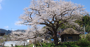 Cherry Tree of Hojobo