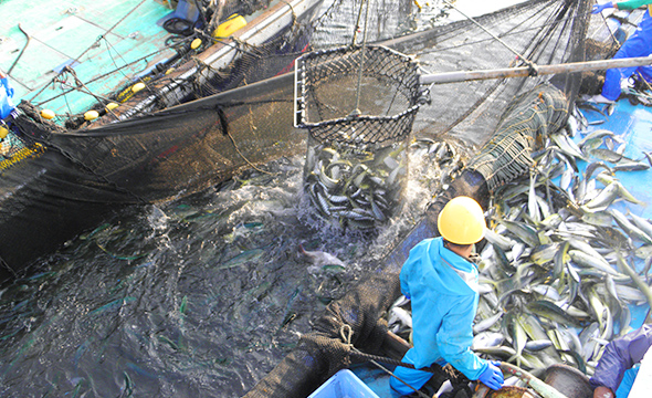 Kan-buri hauled in great plenty with a large fixed net