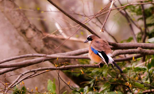 Sado-kakesu, a subspecies of jay